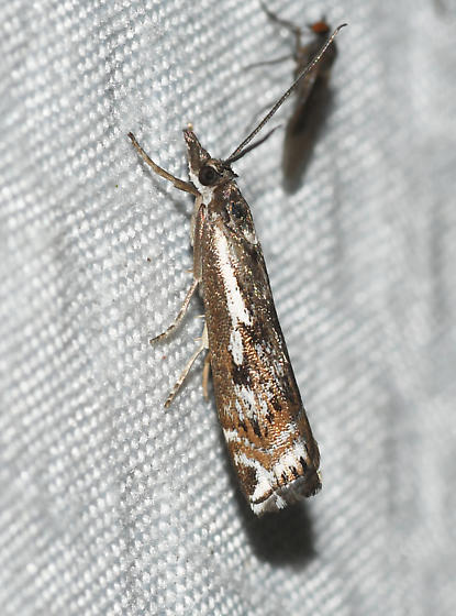 Crambus alienellus
