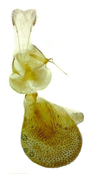 Eupithecia multistrigata - Hodges#7539 - Eupithecia multistrigata - female