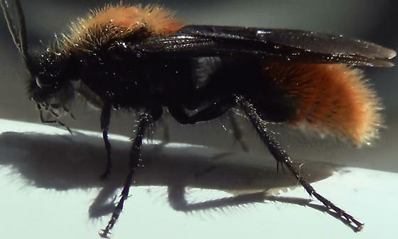 Hairy Velvet Ant Punctated Surfaces - Dasymutilla arenivaga - male
