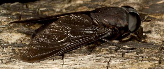 Huge  fly  - Tabanus atratus