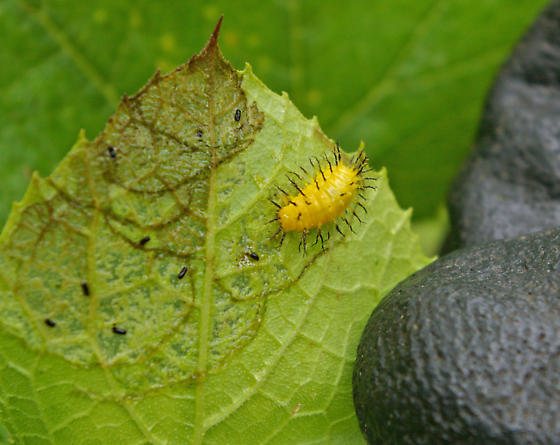 Yellow Spike covered pest on my Squash plants - Epilachna borealis