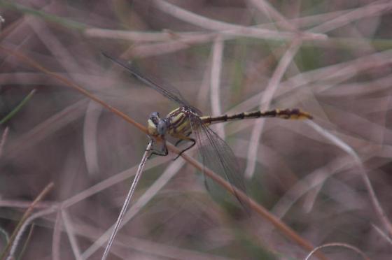 dragonfly/damselfly - Phanogomphus militaris