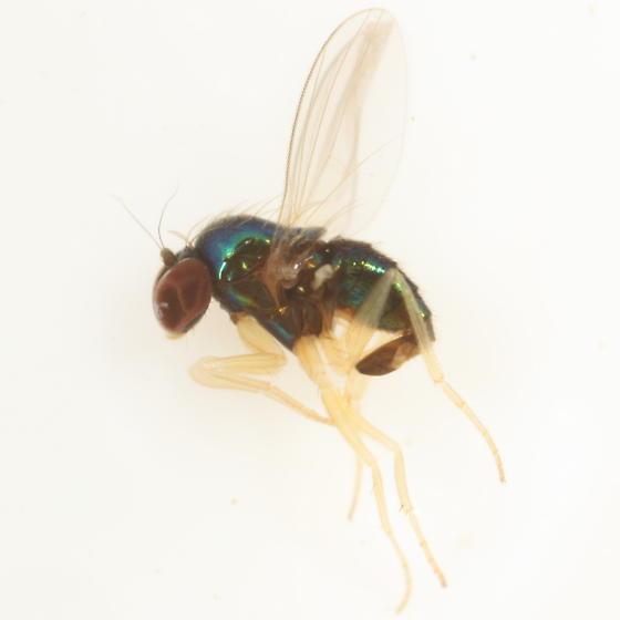 Thrypticus violaceus - male