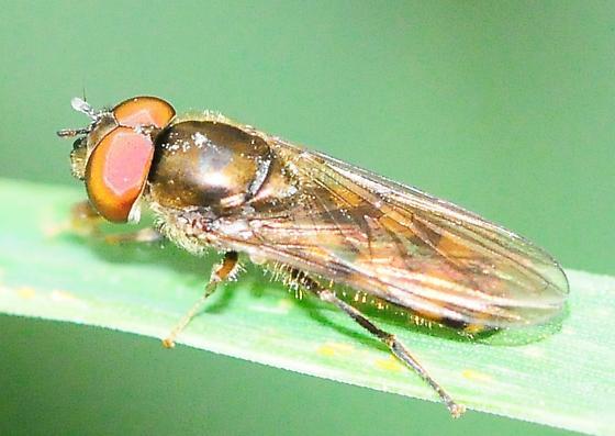 Syrphidae - Syrphid Flies - Platycheirus - male