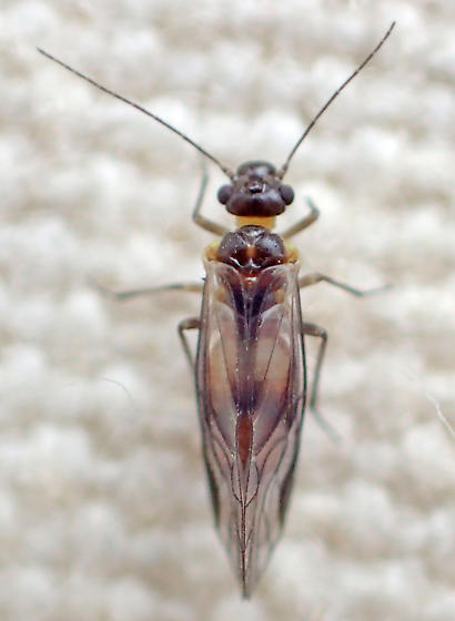 Dark barklouse - maybe another Philotarsus male? - Elipsocus obscurus