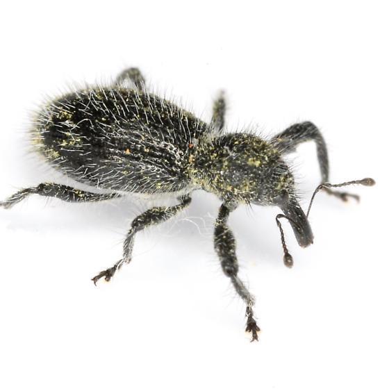 Myrmex scrobicollis (Boheman) - Myrmex scrobicollis