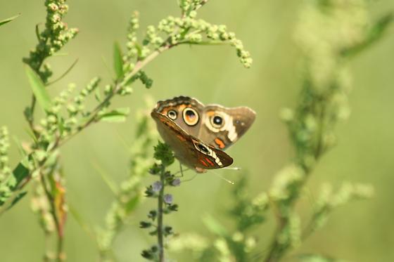 Brown and Orange Butterfly  - Junonia coenia