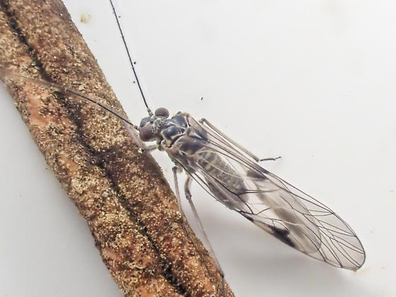 Psocidae swept from diplacus  - Indiopsocus coquilletti
