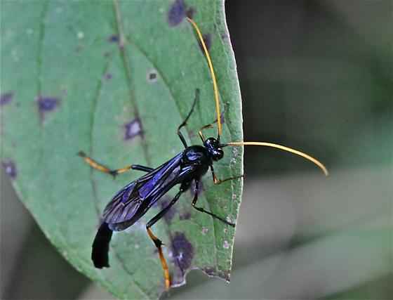 Wasp - Therion morio - male