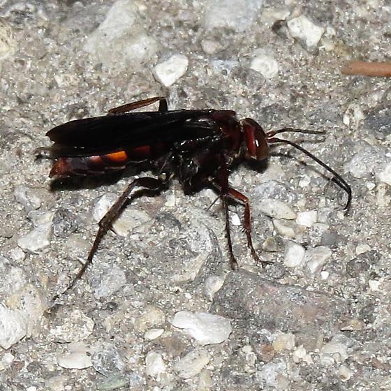 Poeciliopompilus algidus? - Poecilopompilus algidus
