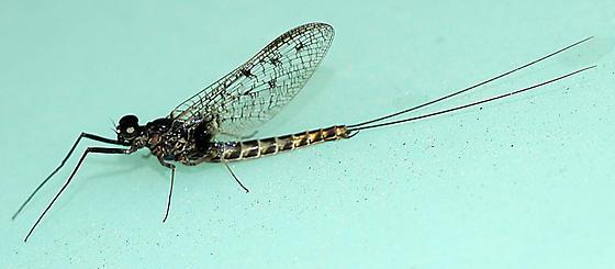 Mayfly on water tank - Siphlonurus