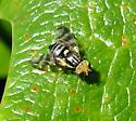 Dark Currant Fly - Rhagoletis ribicola