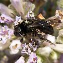 Andrena  - Andrena pertristis - female