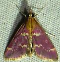 5/11/19 moth - Pyrausta signatalis
