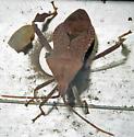 Leptoglossus oppositus - Acanthocephala terminalis