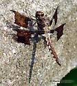 COMMON WHITETAIL - IMMATURE MALE - Plathemis lydia - male