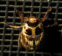 Some type of scarab? - Exomala orientalis