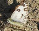 Checkered White - Hodges#4193 - Pontia protodice - female