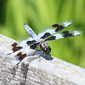 unknown dragonfly - Libellula forensis
