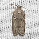 Hodges#1019 - Antaeotricha humilis