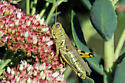 Different or same grasshoppers? - Melanoplus differentialis - female