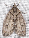 Unknown Moth - Hydriomena