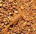 Scorpion ID - Centruroides sculpturatus