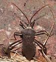 Giant Leaf-footed Bug - Acanthocephala declivis