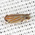 Leafhopper - Deltanus texanus - female