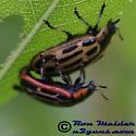 Cottonwood Leaf Beetle - Chrysomela scripta - male - female
