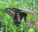 Spicebush? Black? Swallowtail - Papilio polyxenes