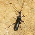Podabrus sp - piniphilus? - Dichelotarsus piniphilus