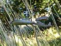 Stagmomantis - Stagmomantis limbata - female