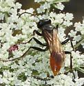 Wasp on carrot flowers - Sphex lucae - female