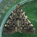 Large Tabby Moth - Aglossa pinguinalis