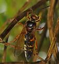 Wasp for ID - Sphecius speciosus