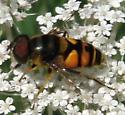 Transverse Flower Fly - Eristalis transversa - male