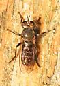 brown fly - Atomosia