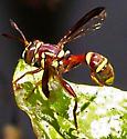 Polybiomyia townsendi - male