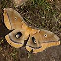 Polyphemus Moth - Hodges #7757 - Antheraea polyphemus - male
