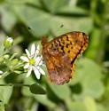 Frittilary  - Boloria bellona - male