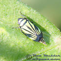 Leafhopper - Stirellus bicolor - female