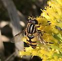 Narrow Headed Marsh Fly? - Helophilus fasciatus