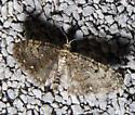 Common Eupithecia  - Eupithecia miserulata