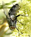 Tachinidae - Chetogena