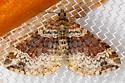 Red Twin-Spot - Xanthorhoe ferrugata - female