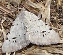light grey moth with black spots - Digrammia californiaria