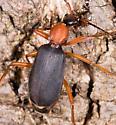 Beetle for ID - Galerita bicolor