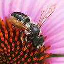 Megachilidae - Megachile pugnata