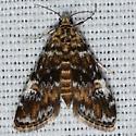 Hodges #4755 – Elophila obliteralis – Waterlily Leafcutter Moth - Elophila obliteralis